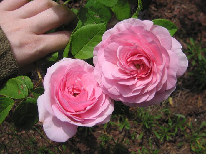 "Gallica Rose ""Allegra."""