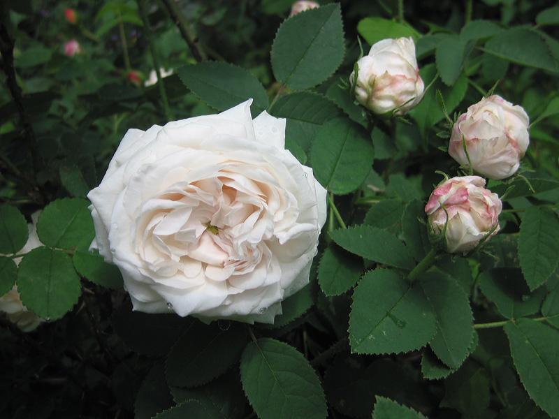 "Centifolia Rose ""Blanchefleur."""