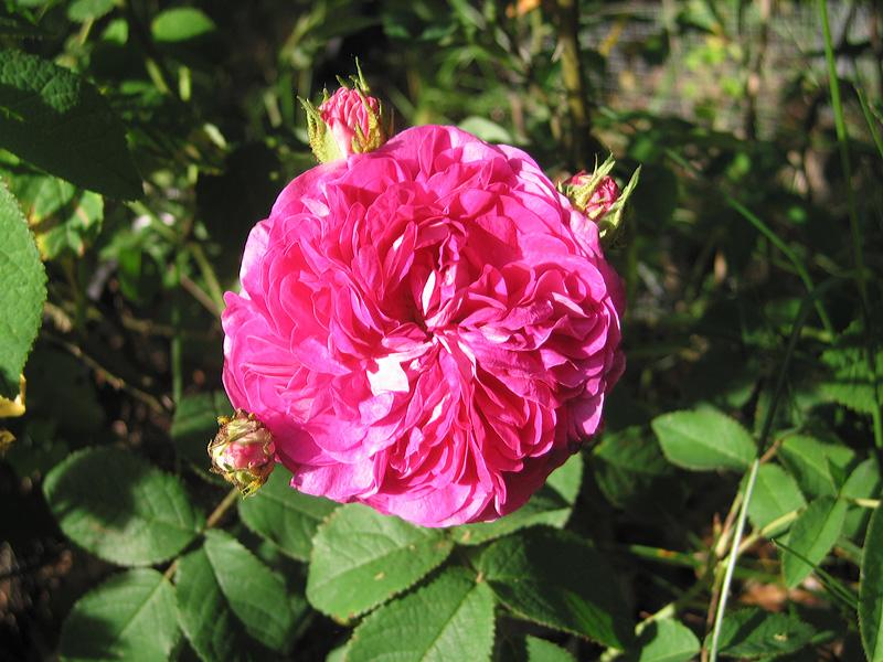 "Gallica Rose ""Charles de Mills."""