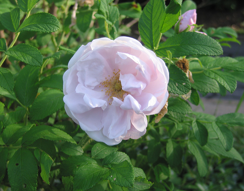 "Rugosa Rose ""Snow Pavement."""